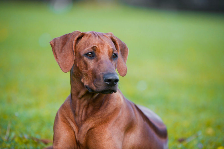 cachorro-leao-rodesia-cuidados
