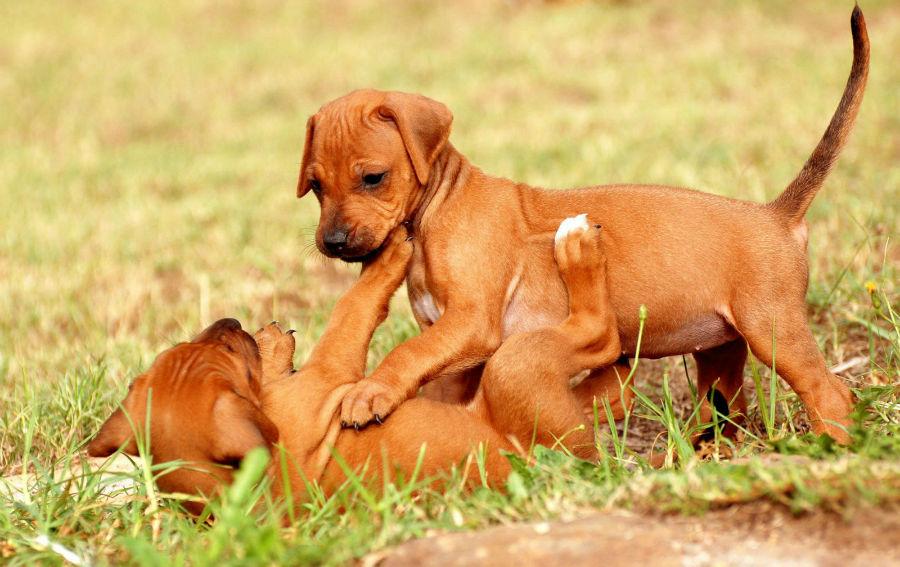 cachorros-leao-rodesia-origem