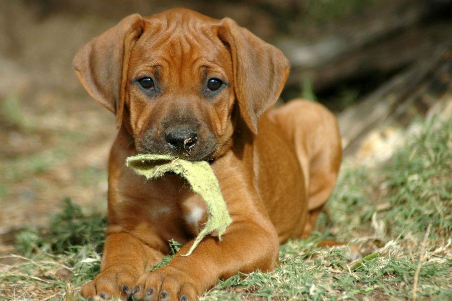 cachorro-leao-rodesia-saude