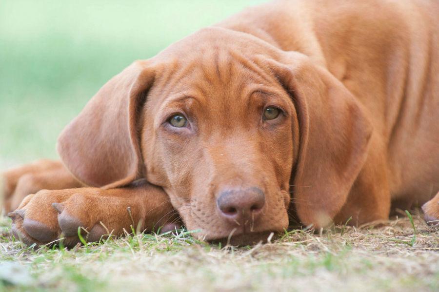cachorro-leao-rodesia-temperamento
