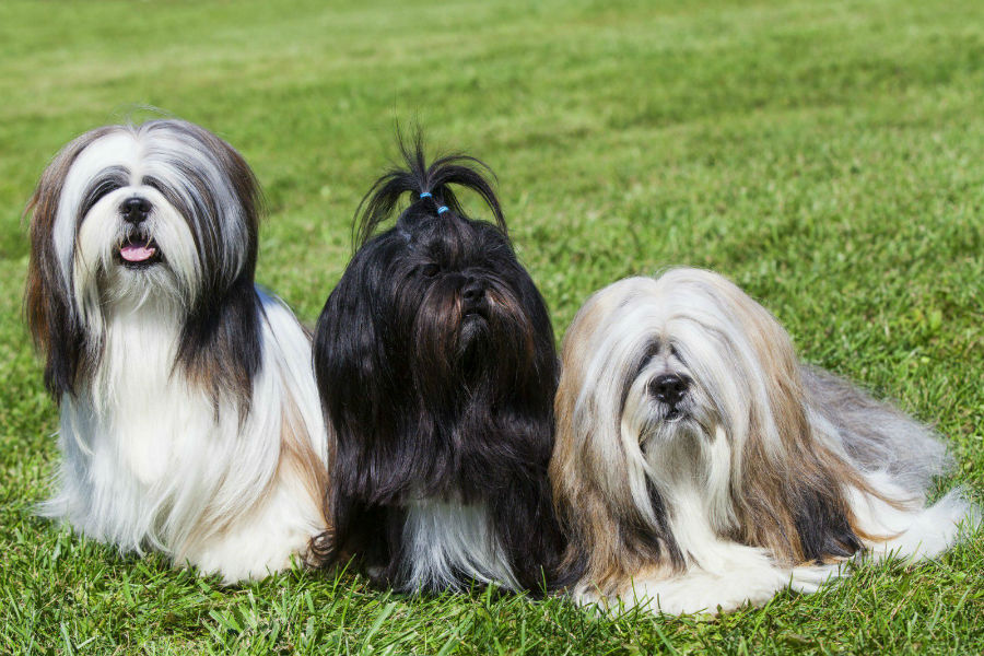 cachorro-lhasa-apso-atividades