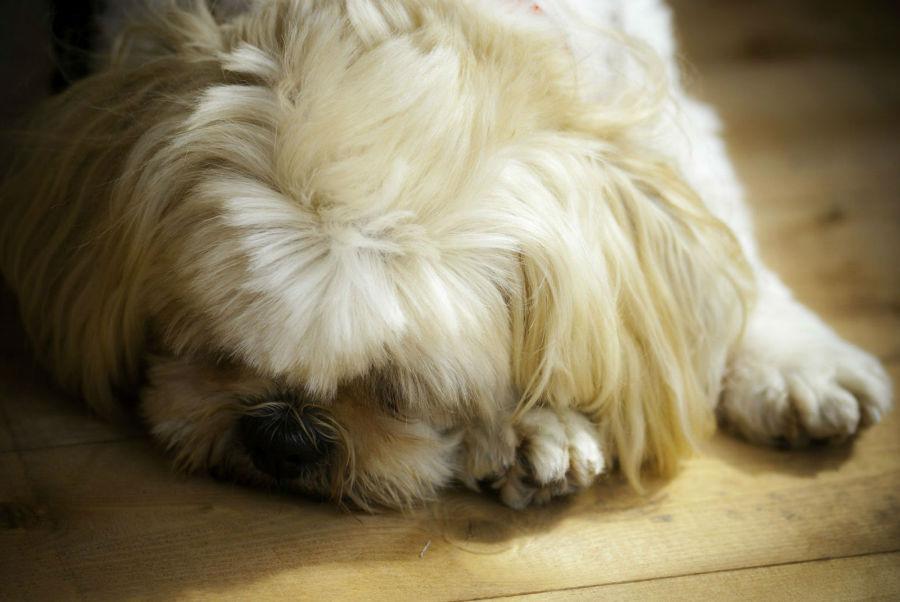 cachoro-lhasa-apso-casa