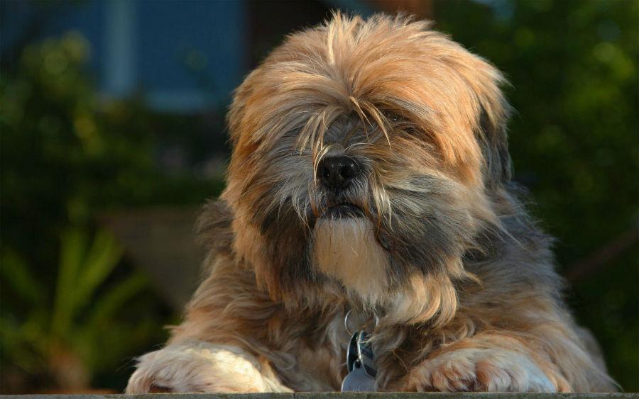 cachorro-lhasa-apso-castanho