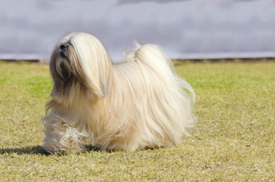 cachorro-lhasa-apso-correndo