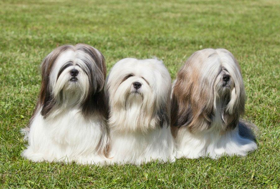 cachorro-lhasa-apsos-trio
