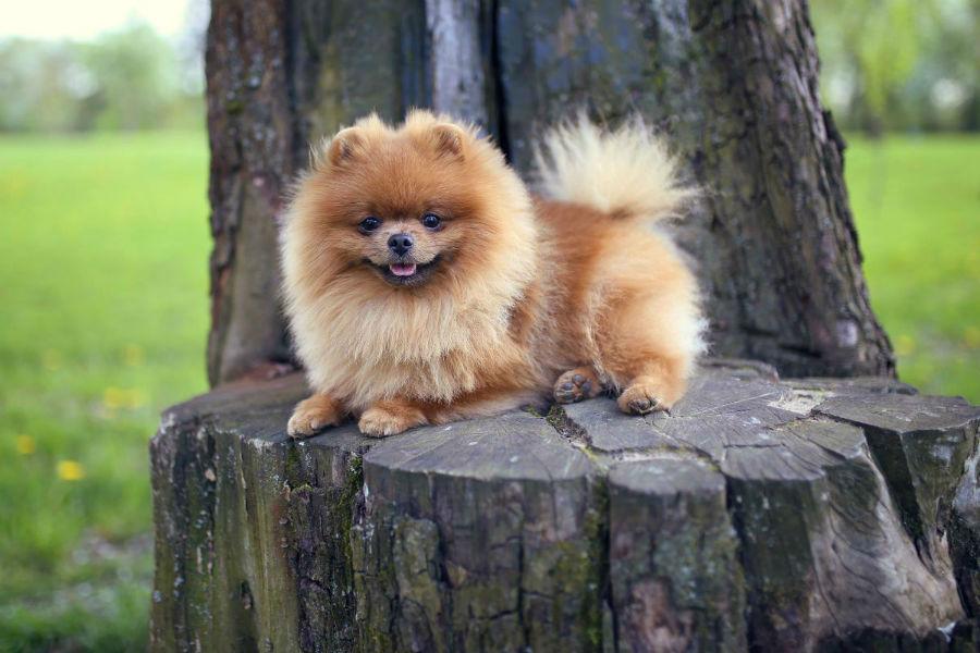 cachorro-lulu-pomerania-cuidados