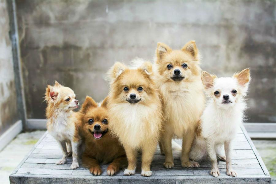 cachorro-lulu-pomerania-intro