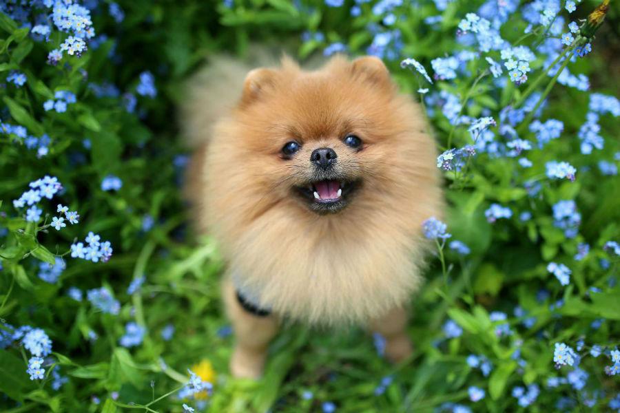 cachorro-lulu-pomerania-saude