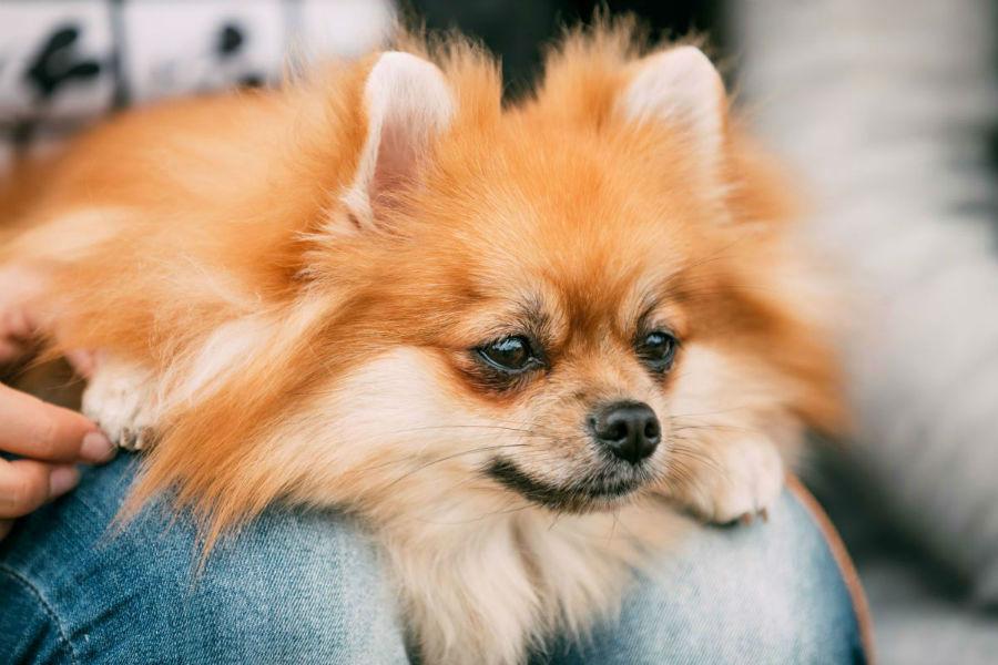 cachorro-lulu-pomerania-temperamento