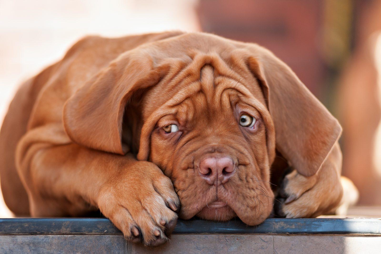 Maior cachorro do mundo: Dogue de Bordeaux.