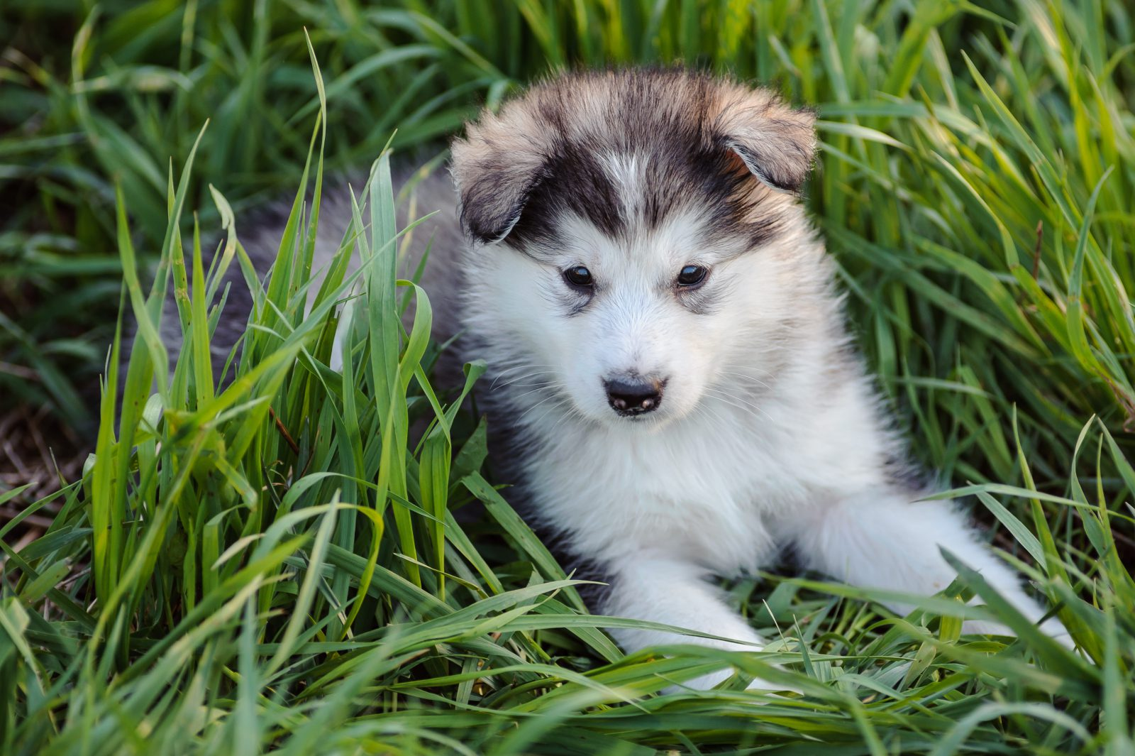 malamute-alasca-ambiente-ideal
