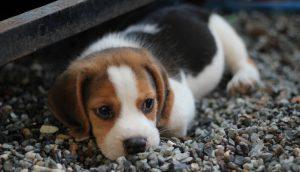 malassezia em cães