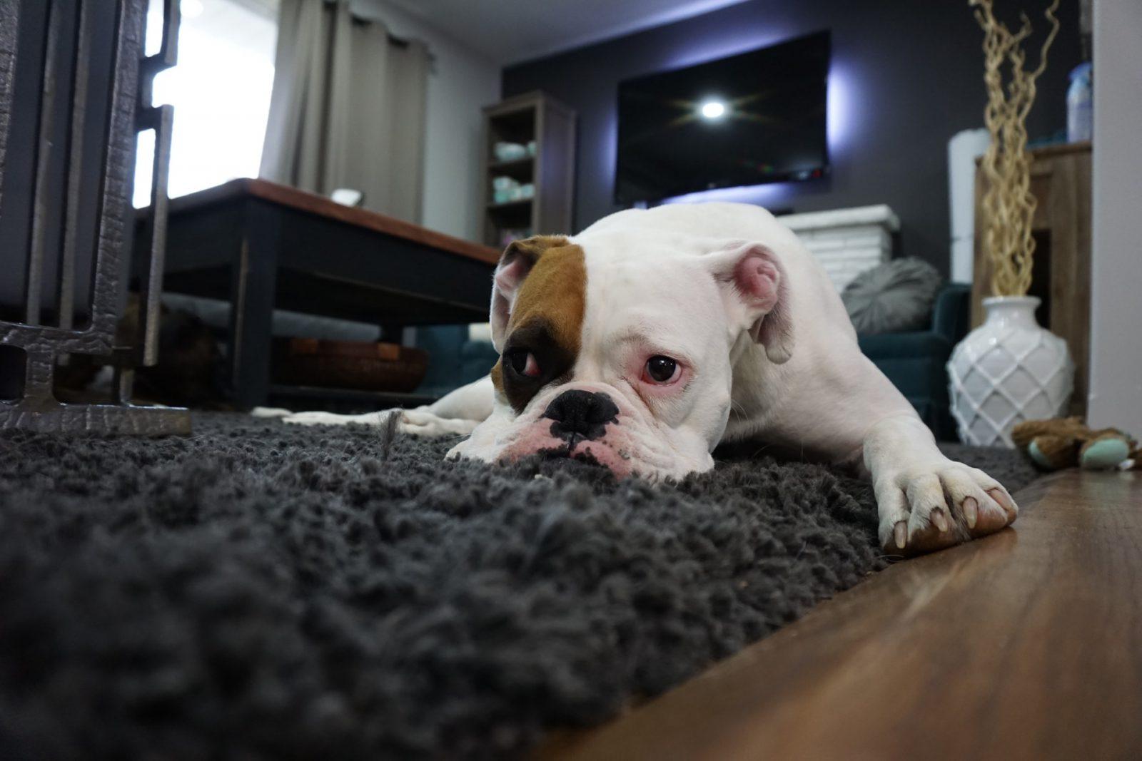 O que é mastite: Aos primeiros sinais de mastite leve a sua cadela ao veterinário.