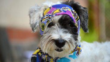 Nomes de cachorros famosos: Cachorro com lenço estampado na cabeça e coleira fashion combinando
