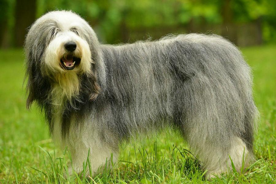 old-english-sheepdog-aparencia