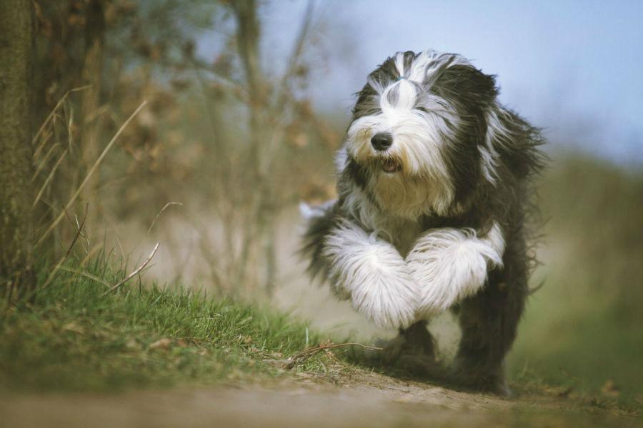 old-english-sheepdog-atividade