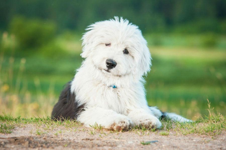 old-english-sheepdog-cuidados