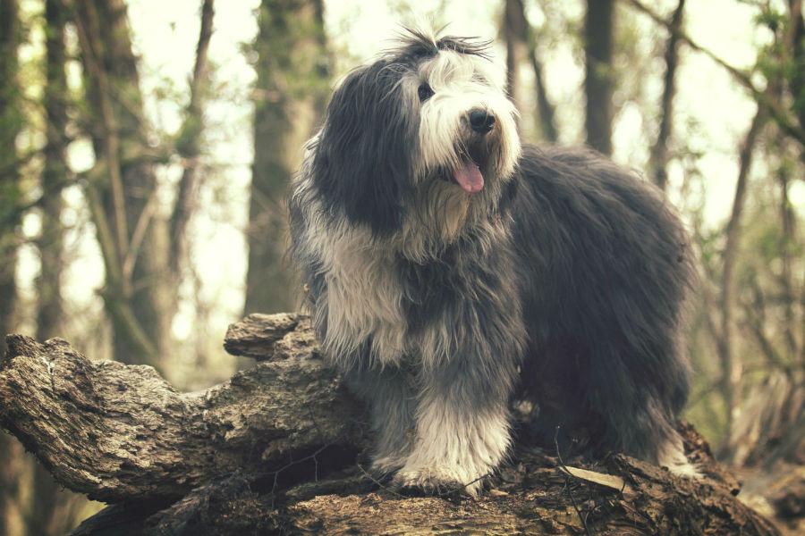 old-english-sheepdog-origem
