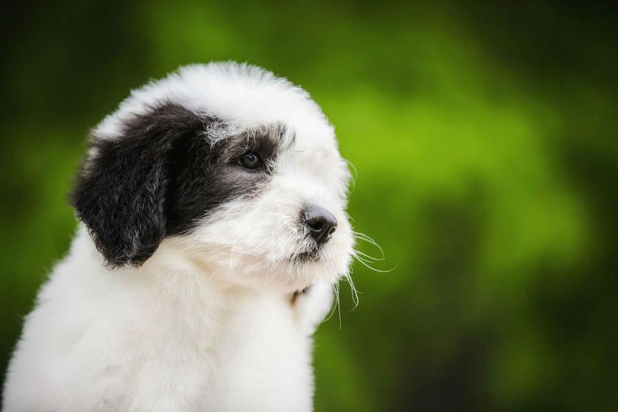 old-english-sheepdog-saude