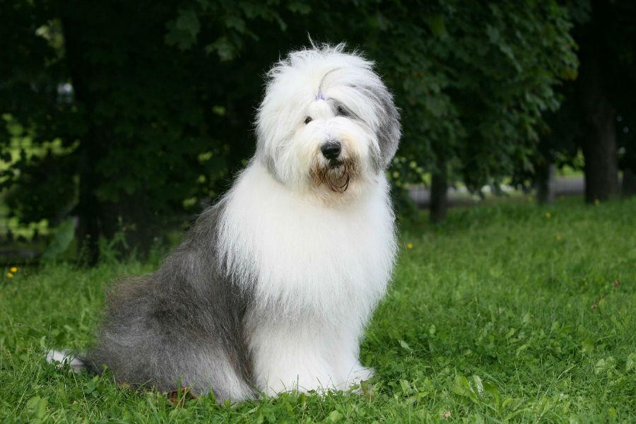 old-english-sheepdog-temperamento