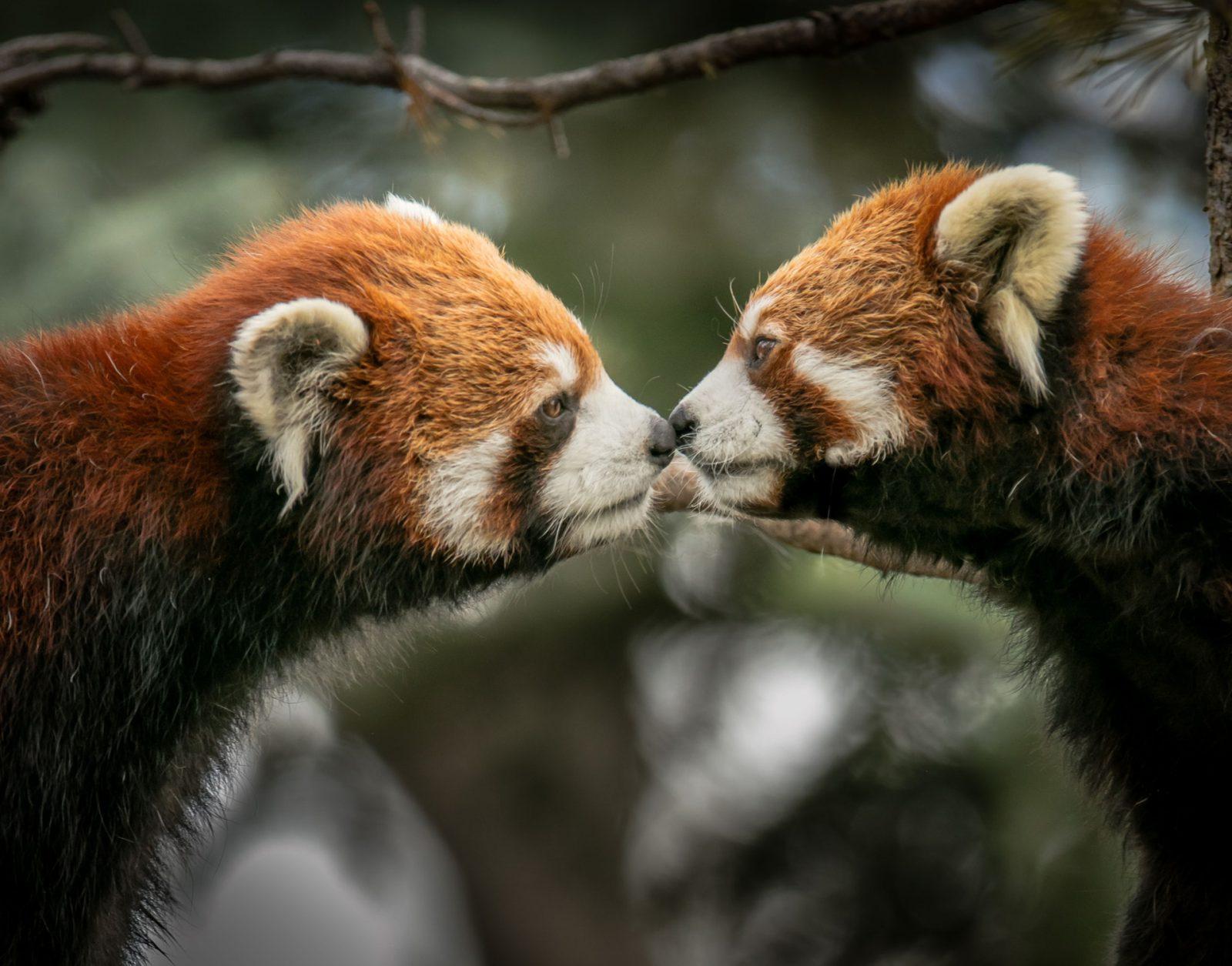A origem do nome panda vermelho não é muito claro.