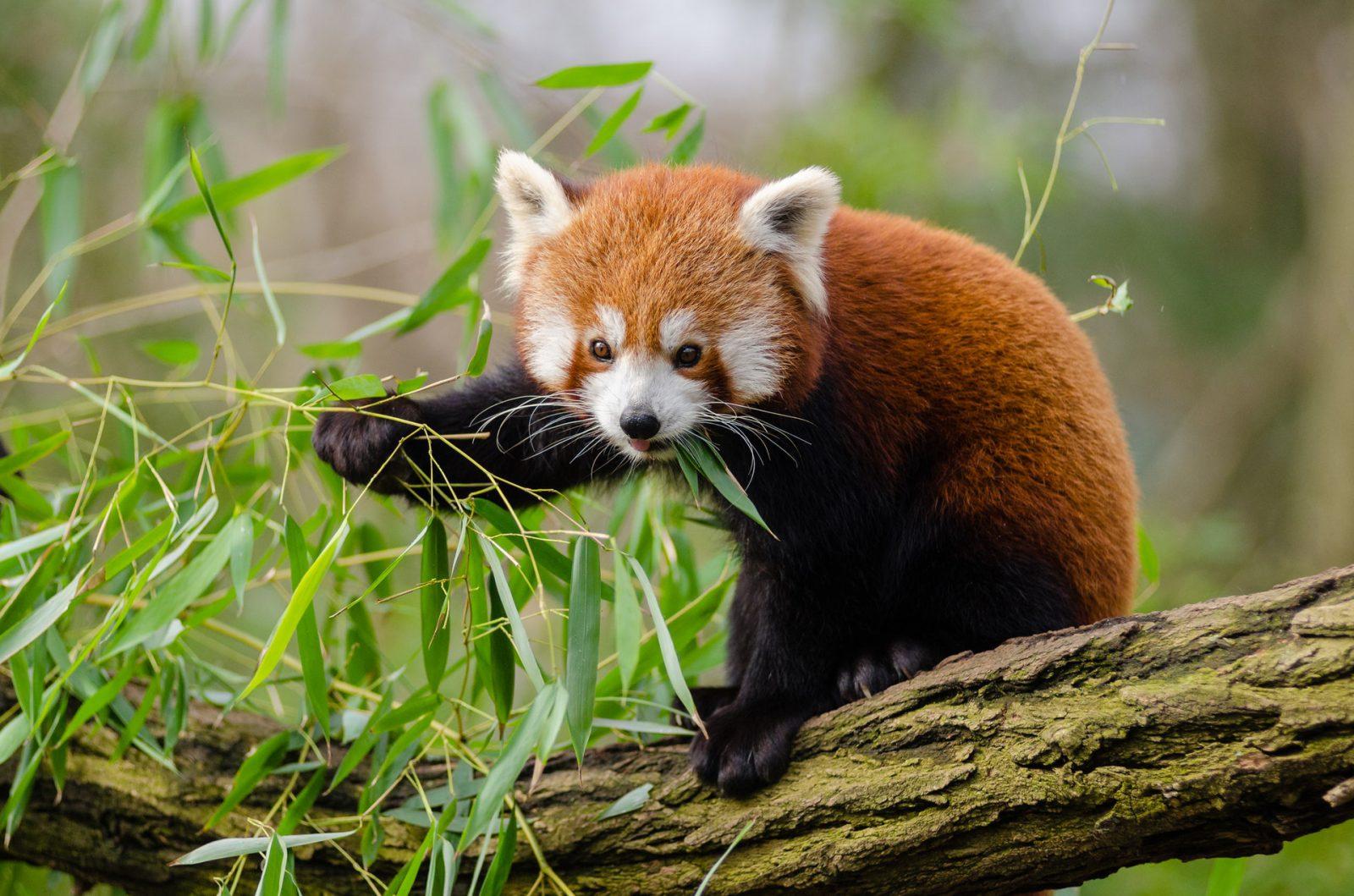 O panda vermelho é um pouco maior que um gato.