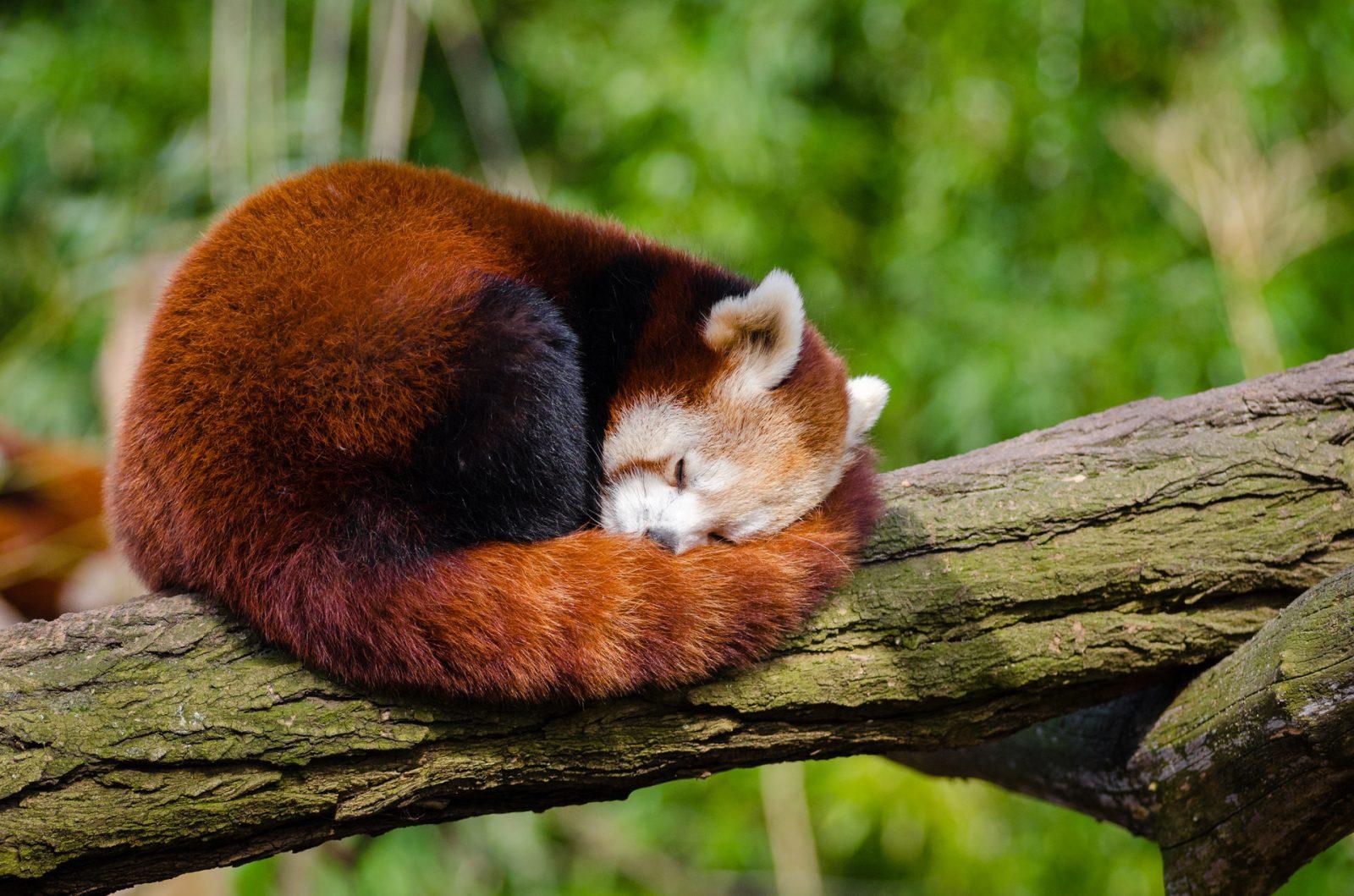 Apesar do mesmo nome e de serem originários da Ásia, panda vermelho é bem diferente do panga gigante.