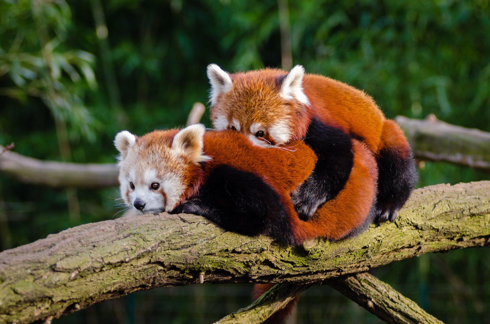 O panda vermelho vive em árvores e tem hábitos diurnos.