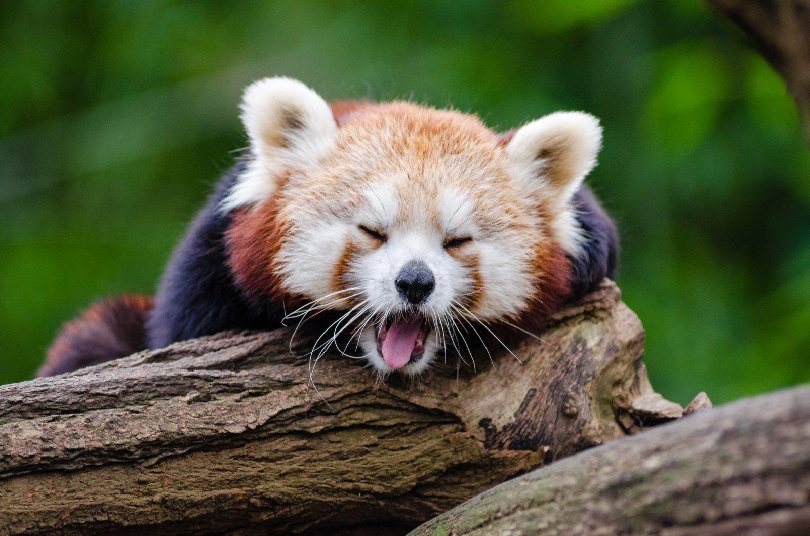 O panda vermelho é tímido e solitário.