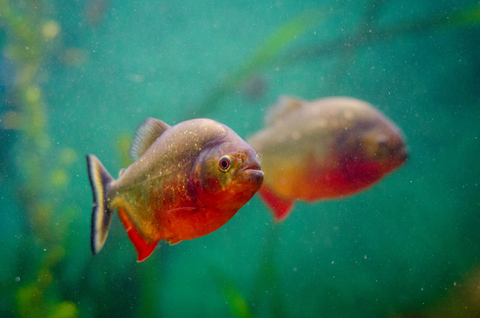 O aquário de peixes de água doce traz muitos benefícios.