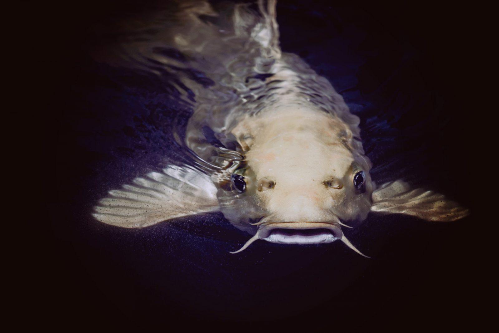 Há muitas espécies de peixes de água doce que podem compor um aquário ou lago.
