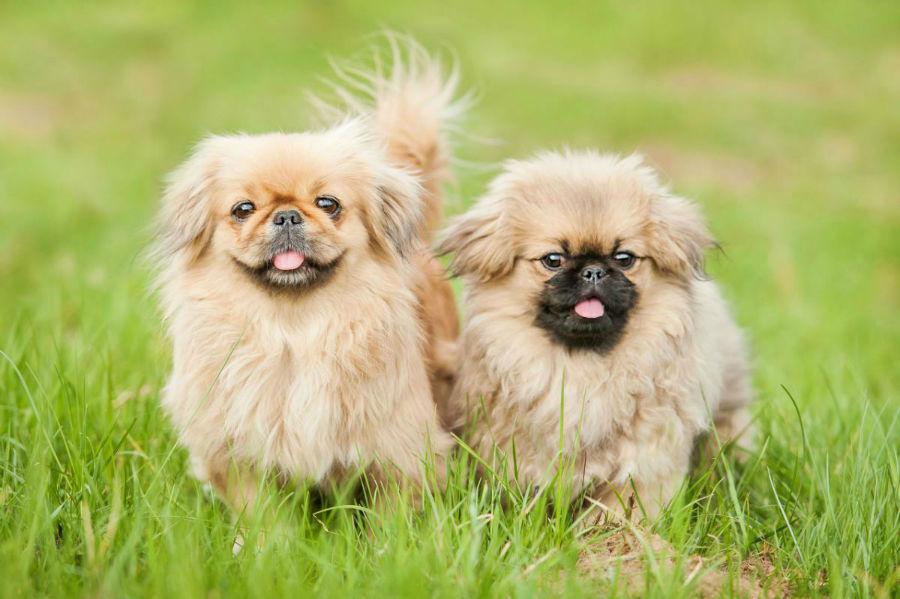 cachorro-pequines-origem