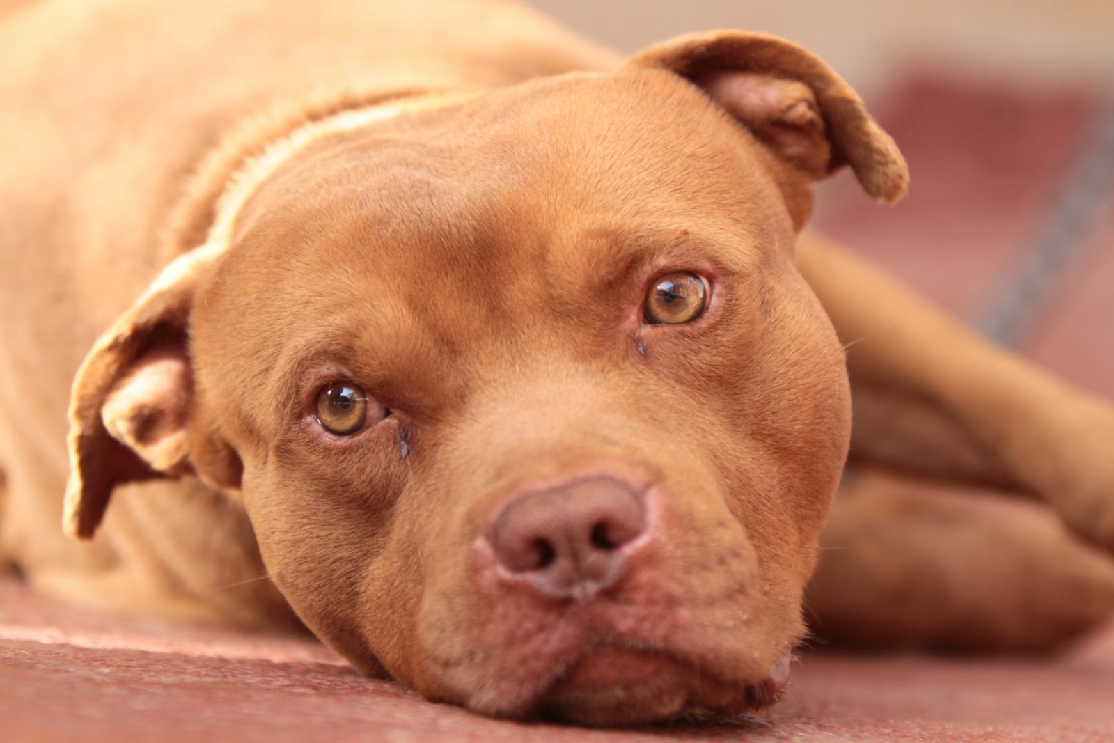 pit-bull-terrier-ambiente-ideal