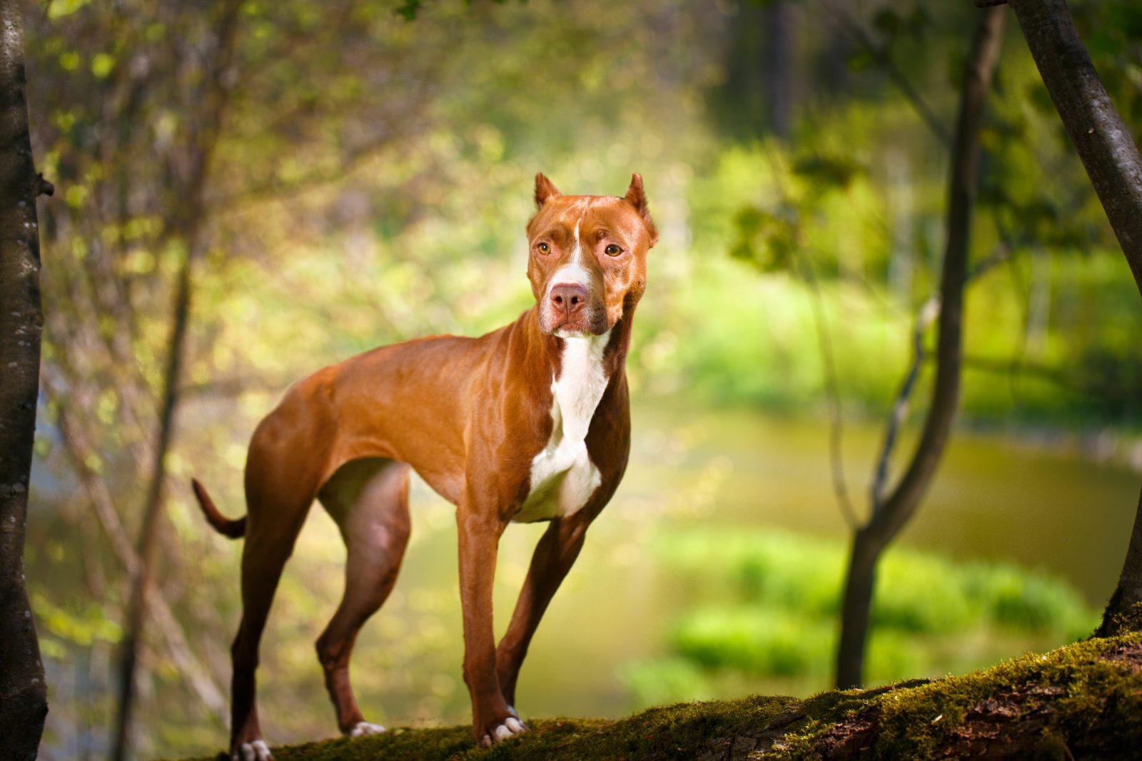 pitbull-terrier-americano-origem