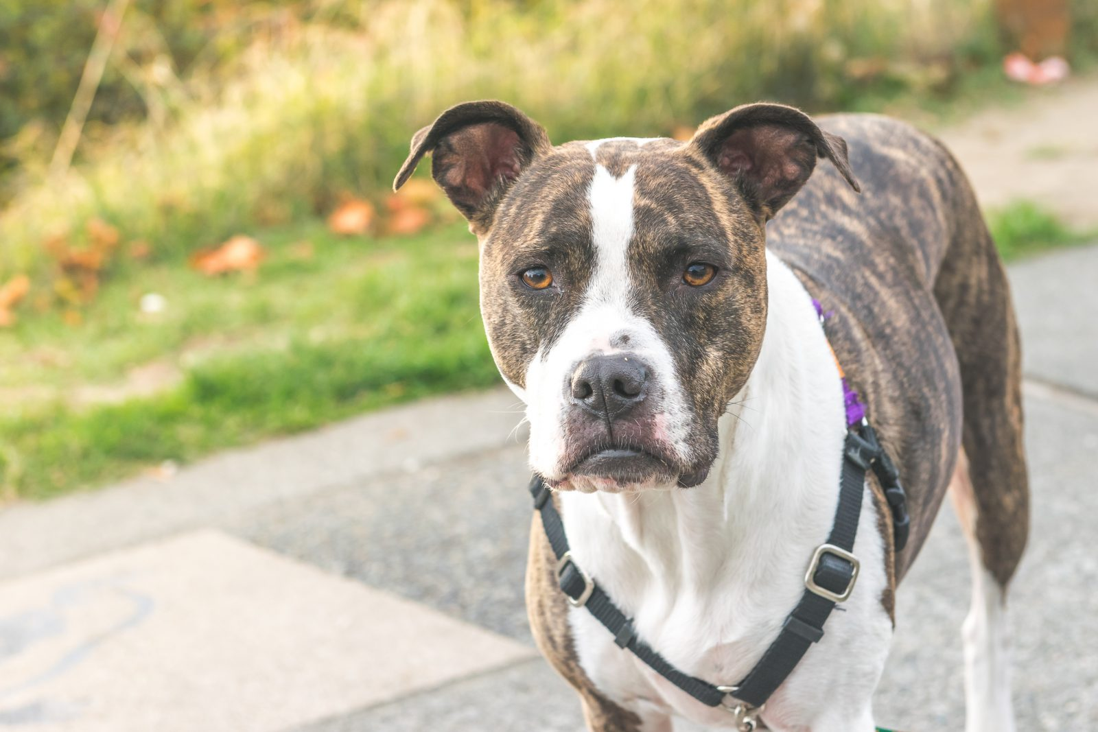 pitbull-terrier-americano-treinamento