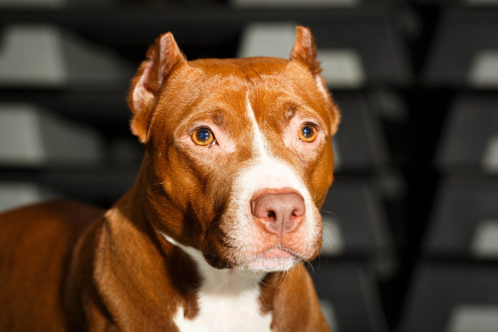 pitbull-terrier-cuidados-manutencao