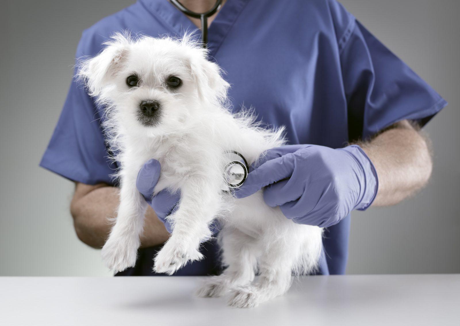 Plano de saúde para cachorro: Maltês sendo examinado pleo seu veterinário na clínica.