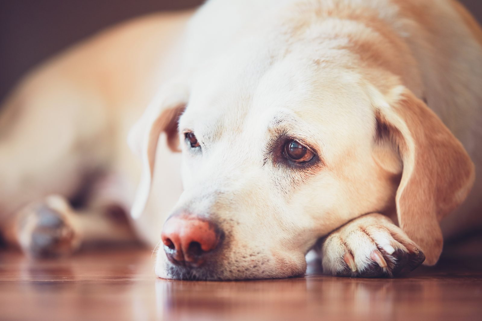 Plano de saúde para cachorro: Labrador deitado no chão com rostinho triste de doente.