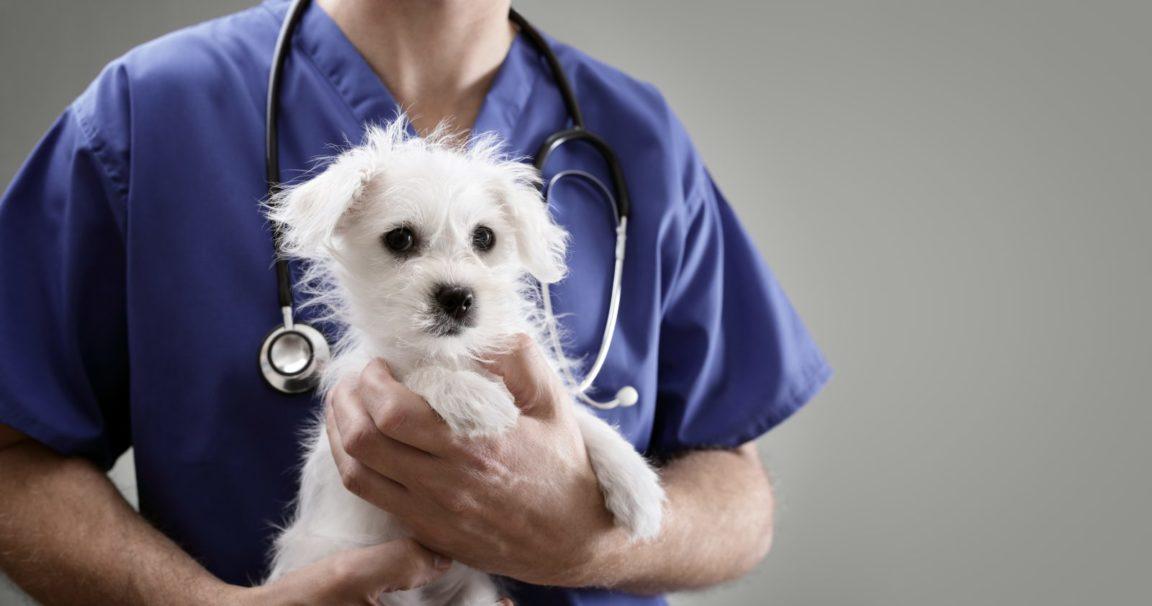 Plano de saúde para cachorro: Maltê no colo do seu veterinário em sua consulta veterinária.