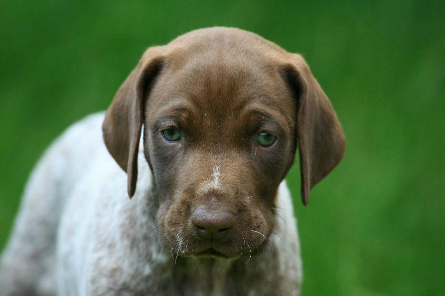 cachorro-pointer-aparencia