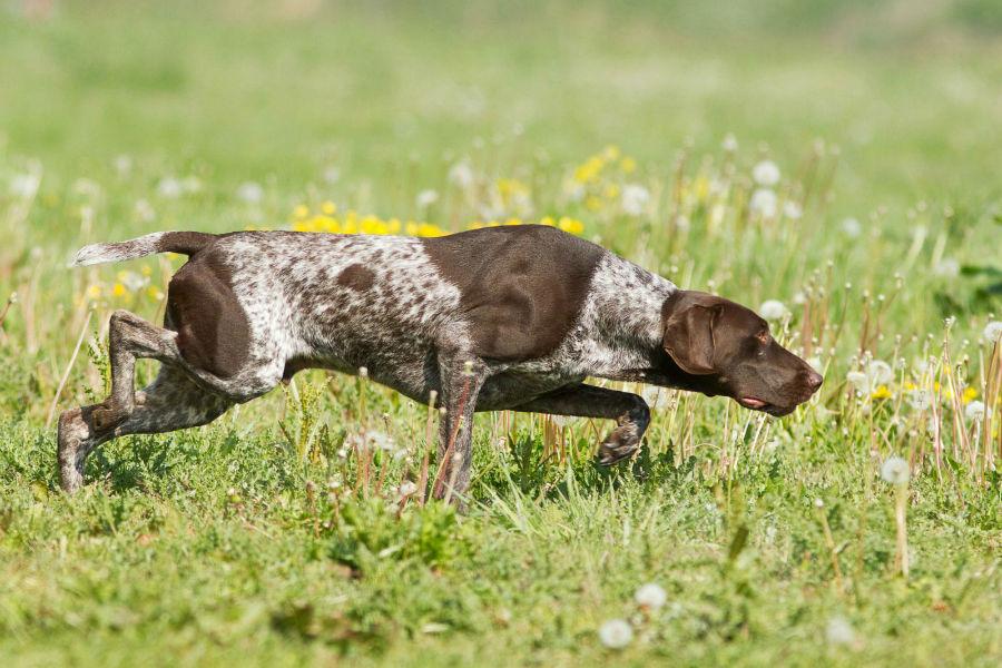 cachorro-pointer-atividade