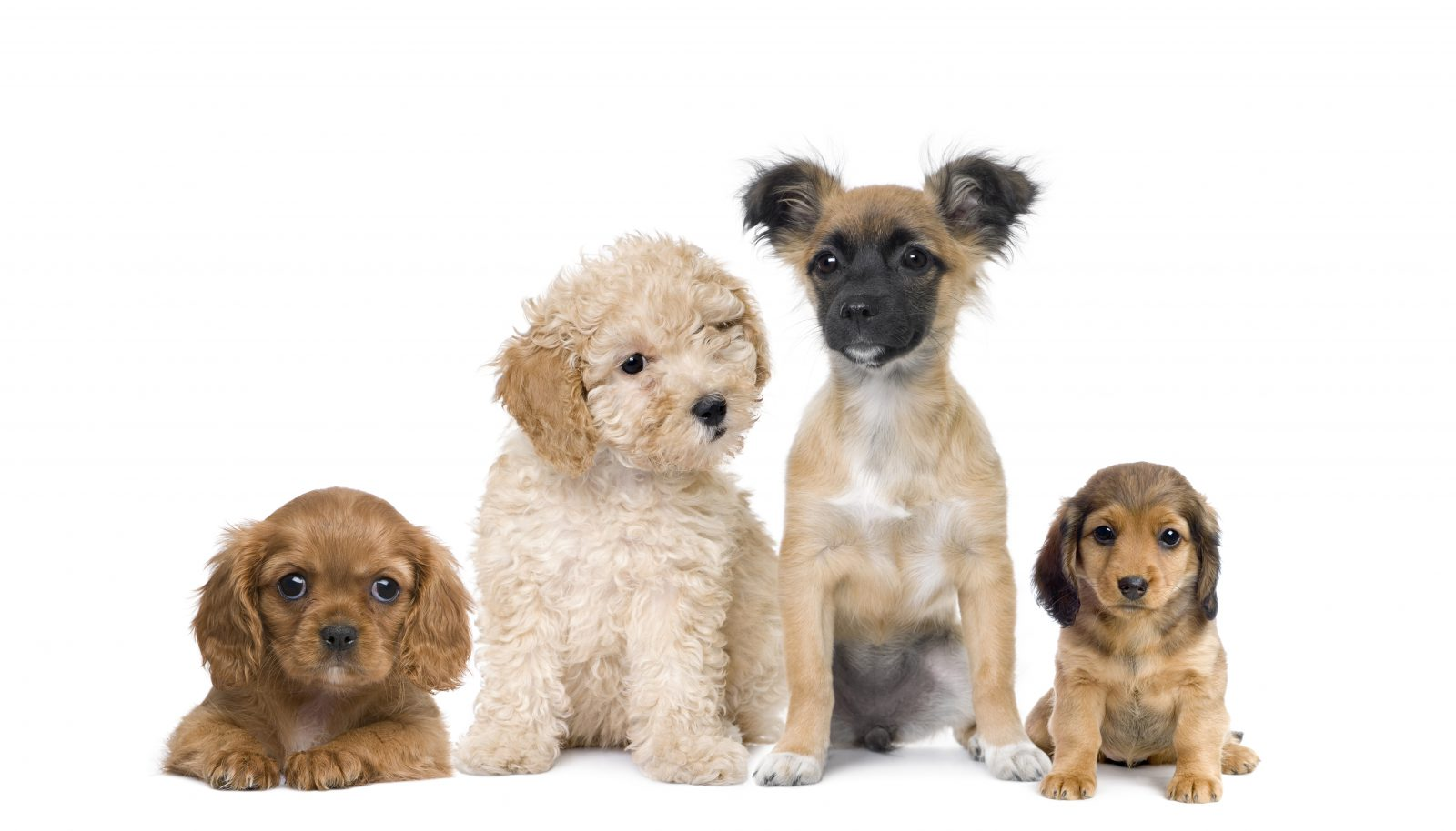 Preço de cachorro: grupo de cachorros filhotes de raças diferentes