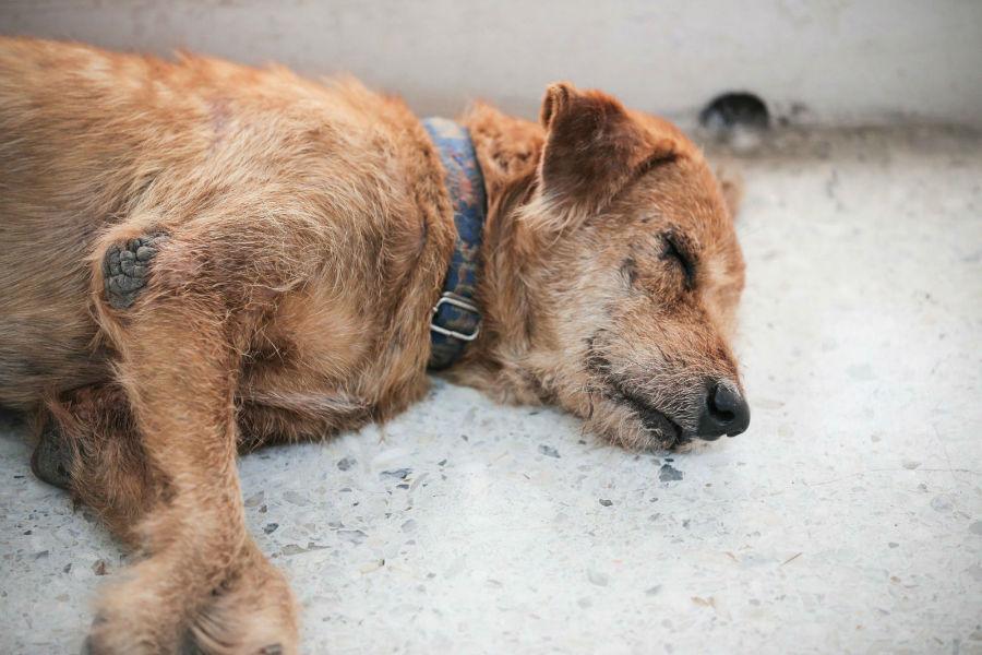 Doenças de cachorro: Cachorro de rua com sarna dormindo