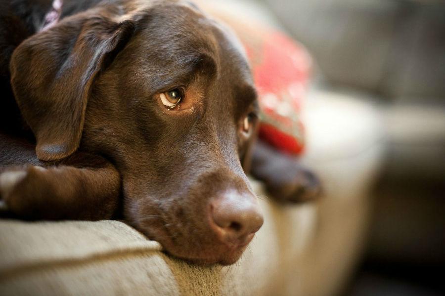 Doenças de cachorro: Labrador retriever chocolate deprimido por ansiedade de separação