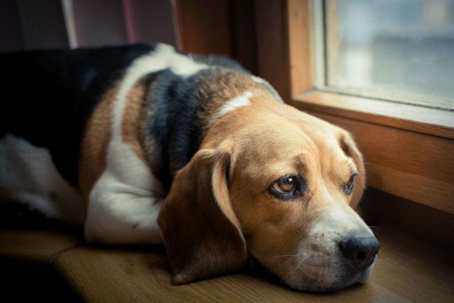 Doenças de cachorro: Beagle triste e deprimido olhando pela janela à espera de seu dono