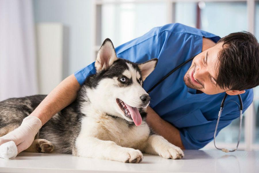 Doenças de cachorro: Husky Siberiano e o seu veterinário