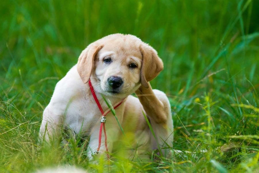 Doenças de cachorro: Labrador filhote com alergia atópica