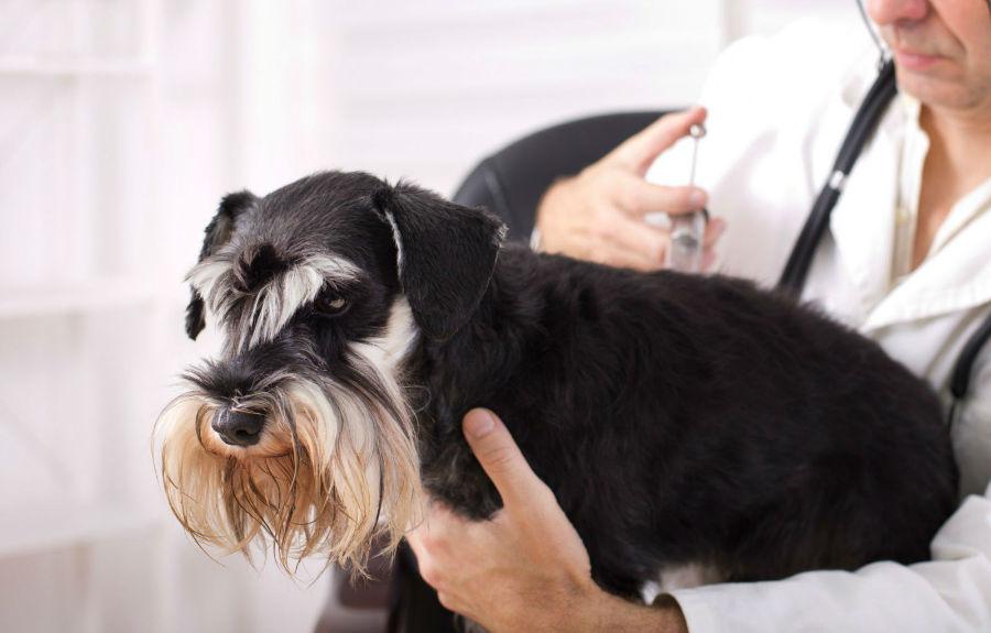 Doenças de cachorro: Schnauzer miniatura tomando vacina contra o coronavírus