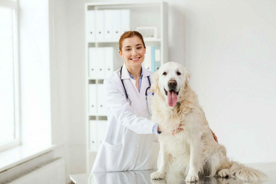 Doenças de cachorro: Labrador e sua veterinária