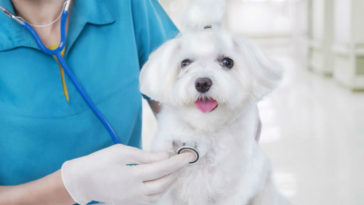 doenças de cachorro: Cãozinho sendo examinado no consultório veterinário